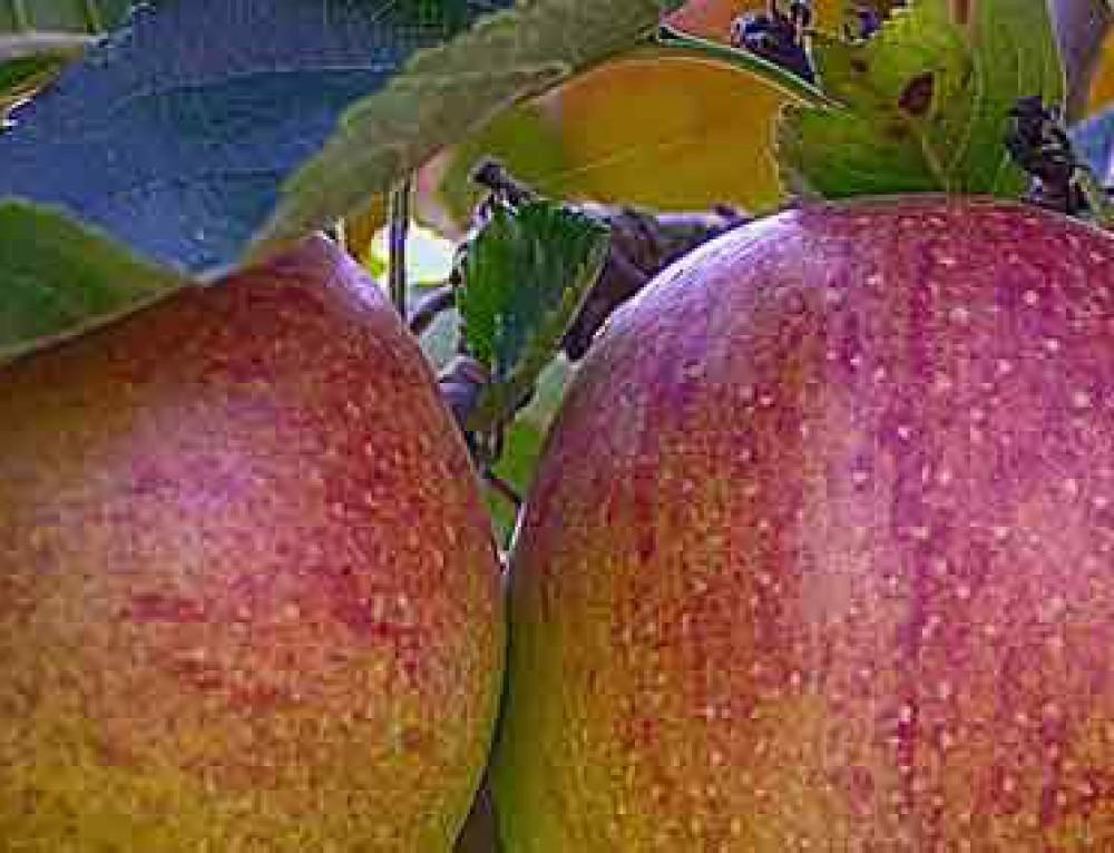Apfelallergie – Hoffnung für Apfelallergiker!