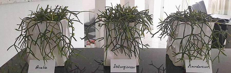 Acala - Pflanzen im Test - Nachher