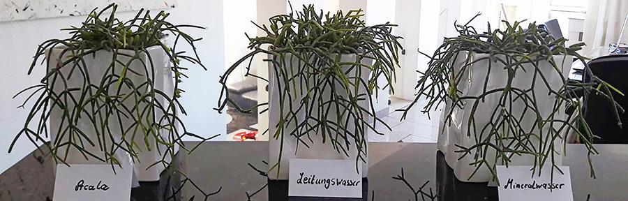 Acala - Pflanzen im Test - vorher